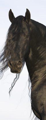 Stallion crop